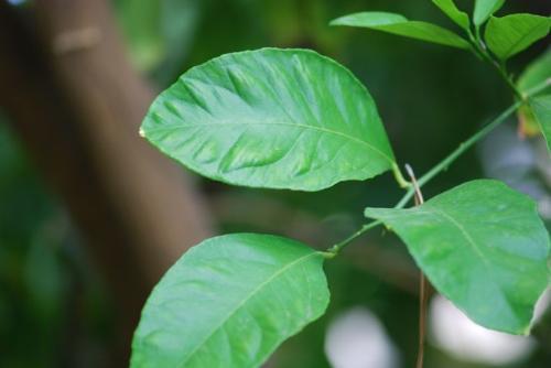 Lá chanh đươc sử dụng khá nhiều trong các bài thuốc Đông y trị cảm, ho, hen suyễn