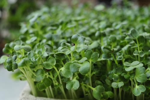 Rau mầm được xem là siêu thực phẩm tốt cho sức khỏe