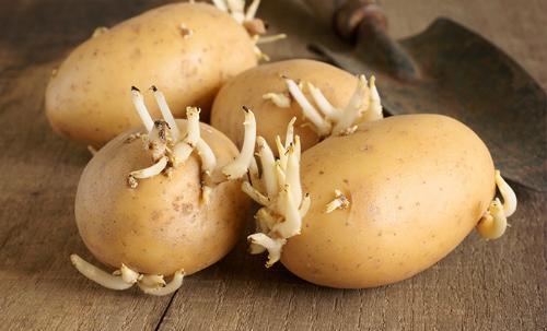 Ăn khoai tây khi đã mọc mầm, người bệnh sẽ có biểu hiện đau bụng, nôn mửa, tiêu chảy… thậm chí có thể dẫn đến tử vong.