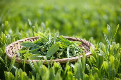 Tinh dầu từ trà xanh có nhiều tác động đến sức khoẻ và sắc đẹp của phụ nữ.